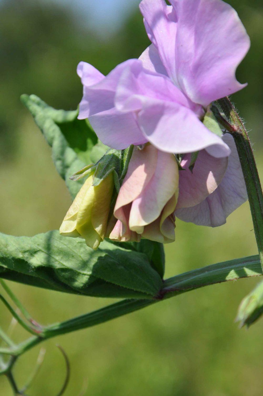 Sweet Peas - british flowers grown in Dorset