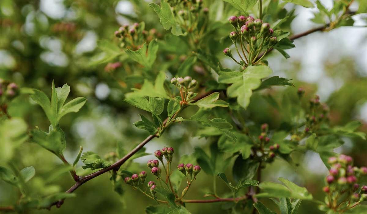 Hawthorn - British Flowers & Foliage, Weddings & Wholesale