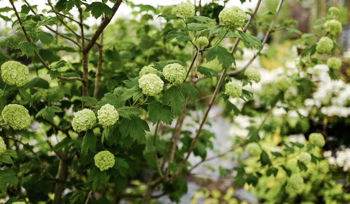 Viburnum - British Flowers & Foliage, Weddings & Wholesale