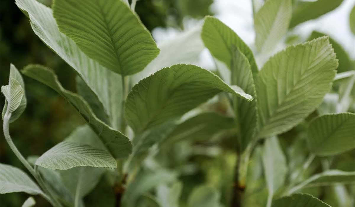Whitebeam - British Flowers & Foliage, Weddings & Wholesale