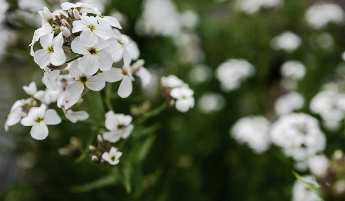 Sweet rocket - British Flowers & Foliage, Weddings & Wholesale